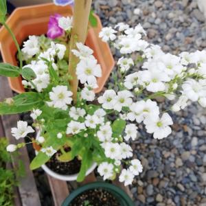種からカスミソウ、立派に開花しました