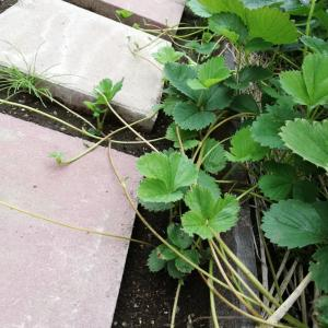 ランナーまみれのイチゴ畑をスッキリ剪定しました