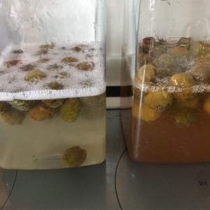 梅ジュース 10日目 ついに発酵!
