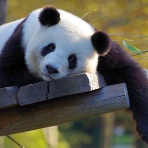 王子動物園パンダいなくなる?タンタン返還後現在の日本には何頭に?2020年