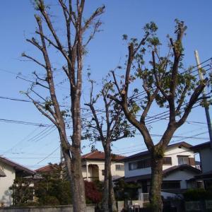 裸になった公園のドングリの木
