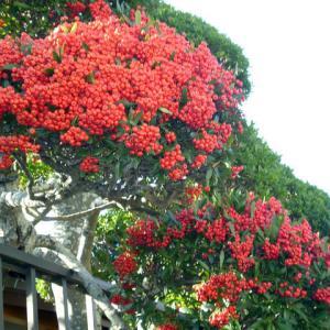 ピラカンサスの庭木