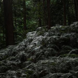 529歩 シダの森に注がれる光を 編