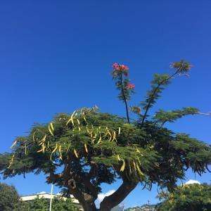 ハワイの木に毛が三本