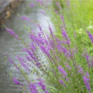 87「万葉の花」萩