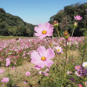 【横須賀】くりはま花の国のコスモス&ペリー上陸の地