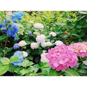 神戸市立森林植物園 「森の中のあじさい散策」に行ってきた