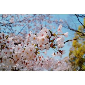 大阪城で平成最後の桜を見に行った時の話