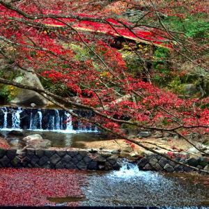 岩屋堂公園の紅橋付近の紅葉は
