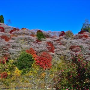小原四季桜&紅葉