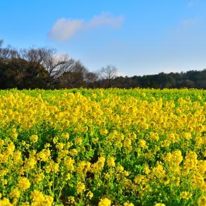 ビタミンカラー、癒しの菜の花畑