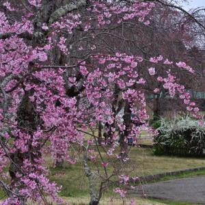 水源公園の桜はまだまだでした。