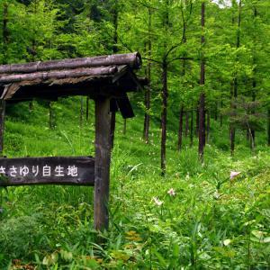 みたけの森 1万株以上自生するササユリ