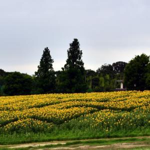 愛知牧場のヒマワリ畑