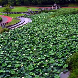 愛知健康の森の蓮池