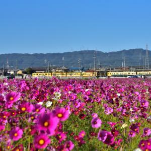 東員町のコスモス×黄電車