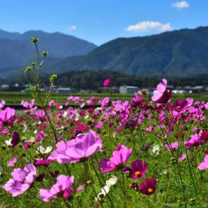 菰野町田光のコスモス畑