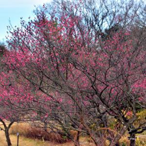 大高緑地の梅便り