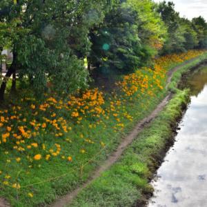 高浜市稗田(ひえた)川の彼岸花その3