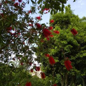 赤いブラシの木