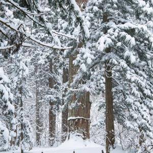 深雪に佇む / A large cedar tree in the snow