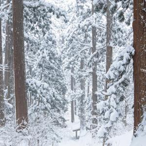 厳冬の杉林 / Cedar forest in winter