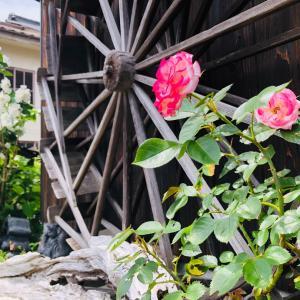 ♪バ~ラが咲いた、バ~ラが咲いたピンクのバラが~~♪
