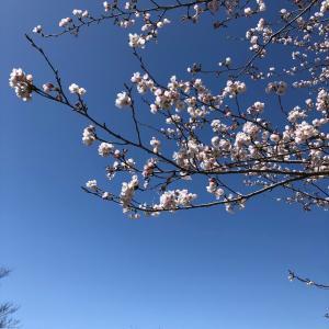 今年も桜は咲きました。/コラム色々