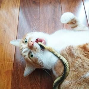 ヘビ喰い猫
