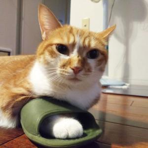 スリッパを履く猫