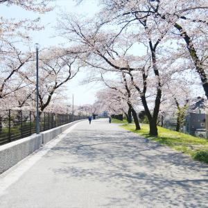 自粛中の「羽村桜祭り会場」に行ってきました