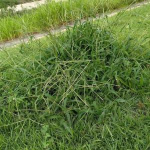 オヒシバ草