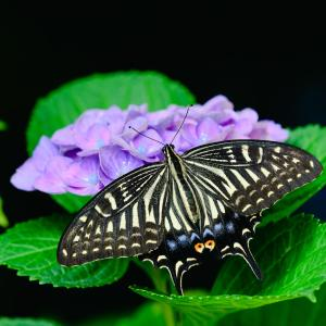 紫陽花にアゲハ蝶
