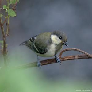 シジュウカラの幼鳥、川のカワセミ