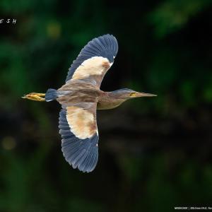 ヨシゴイの飛翔