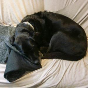 盲導犬引退犬ロジャーとオマリー