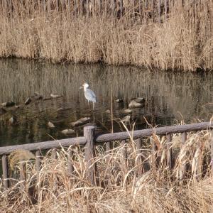 サギさんと遊水池