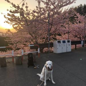 朝の桜 道の駅みょうぎ