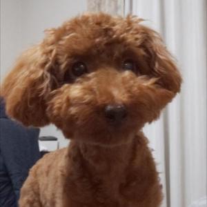 犬のマイクロチップ義務化とは?登録のメリットとデメリットをご紹介します。