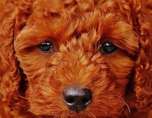 愛犬のきょうだいは何匹?トイプードルの出産と赤ちゃんについてご紹介します!