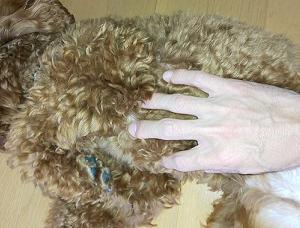トイプードル犬の飼い方!体調管理チェックポイントをご紹介します!