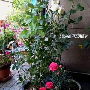 乱れ咲き マカロンという名の花達