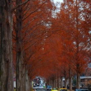 滋賀県マキノ高原のメタセコイア並木へ
