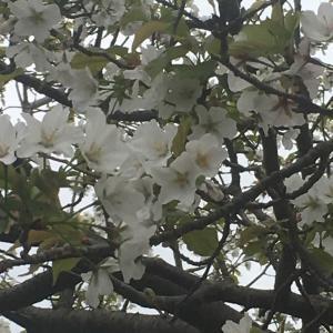 魚見岳の桜・・・東洋のダイヤモンドヘッド