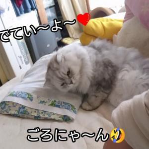 「こたろう」をモフらせていただきやす🤣 ペルシャ猫 もふもふにゃんこ