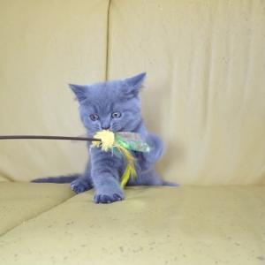 【犬猫動物動画まとめ】ブリティッシュショートヘアー子猫2019.8.19産れ ブルー シーダキャット猫のお店