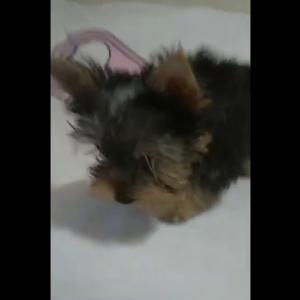 【犬猫動物動画まとめ】ヨークシャーテリア 子犬 yorkie puppy