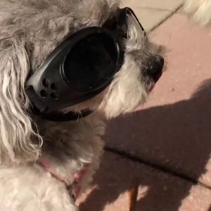 サングラスをかけてもらうには…嫌がられないコツ②|Tips to making your dog wear sunglasses 2