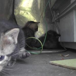 【犬猫動物動画まとめ】黒ちょびみ子猫たち、よちよち歩きでお留守番 kitten and mother