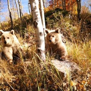 【犬猫動物動画まとめ】Nemrut'un ziyaretçilerini kardeş boz ayılar karşılıyor